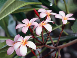 Frangipani Blumen (I didnt make that up)