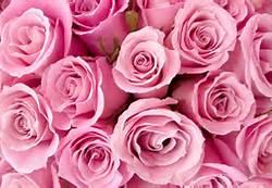 rose fleurs