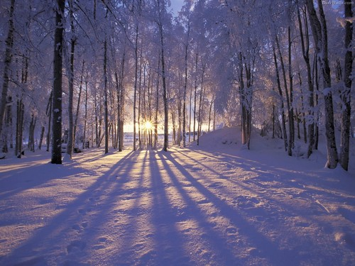 snow wallpaper with a beech, a ponderosa, and a poplar titled Snow in Winter