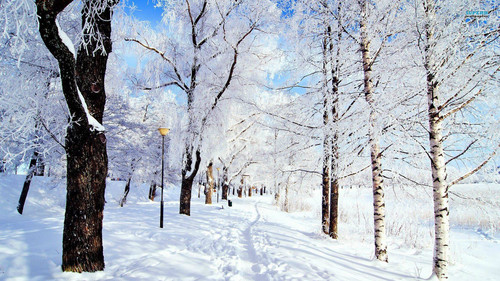 snow wallpaper containing a snowbank, a ponderosa, and a birch titled Snow in Winter