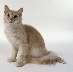 Sandheart - she-cat