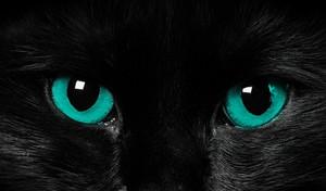 Blackdove - she-cat