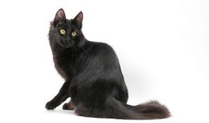 Blacktail - tomcat