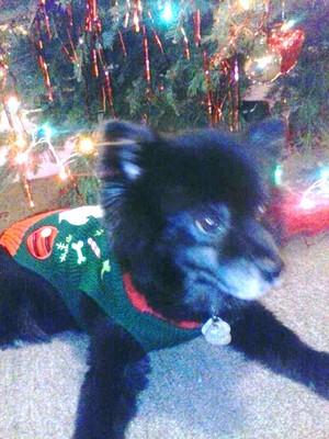 my dog all set for navidad