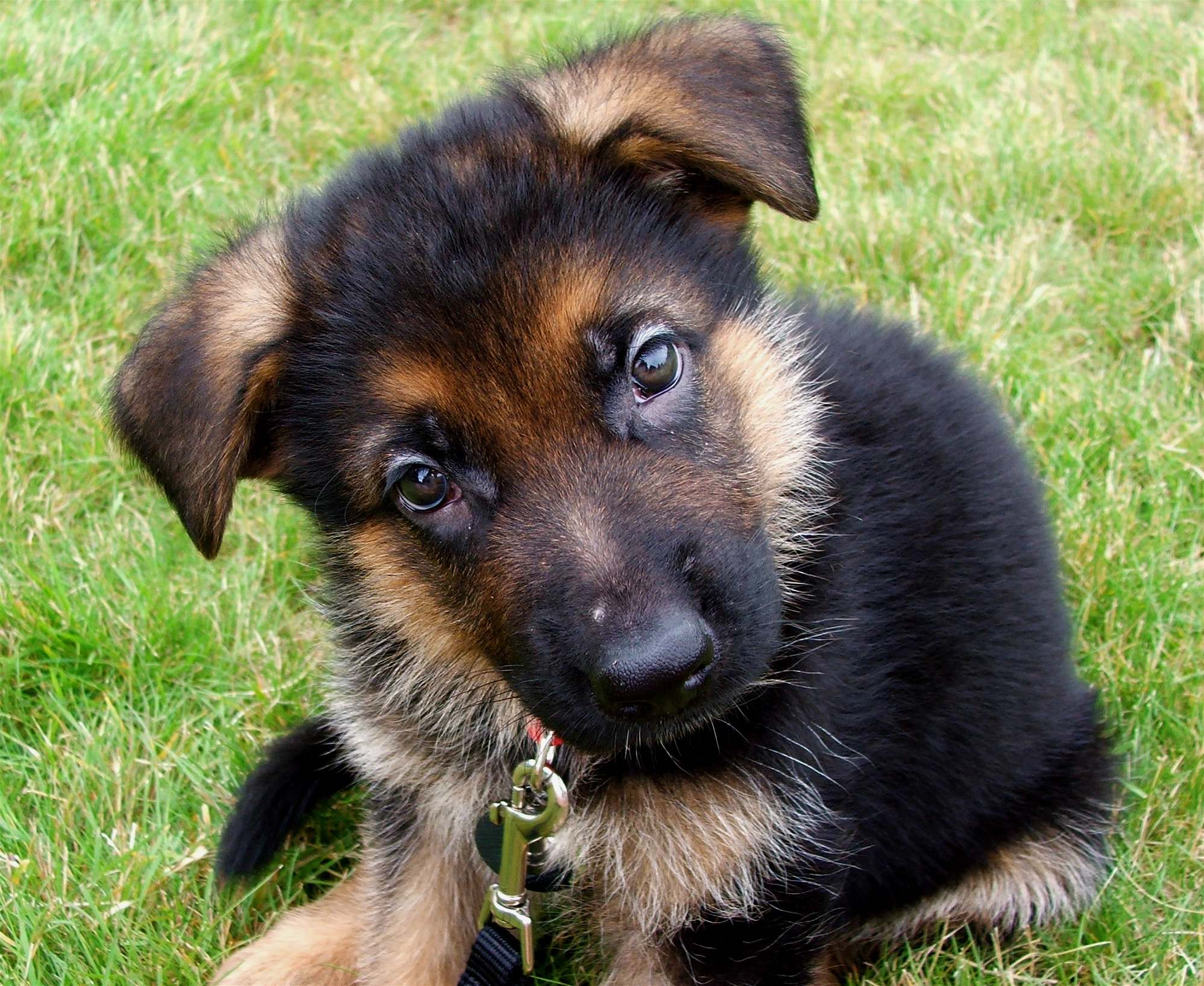 German Shepherds Images Panzer As A Puppy Hd Wallpaper And