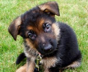 Panzer as a puppy