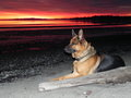 Panzer on the beach - german-shepherds photo
