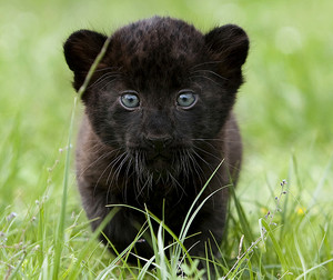Black con beo, panther Cub