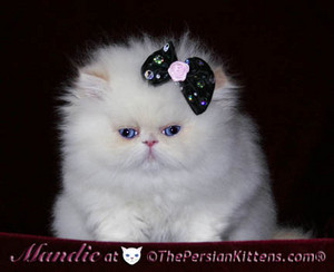 persian kitty