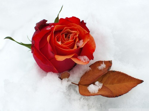 Winter wallpaper containing a bouquet and a rose titled lovely-winter-rose-wallpaper