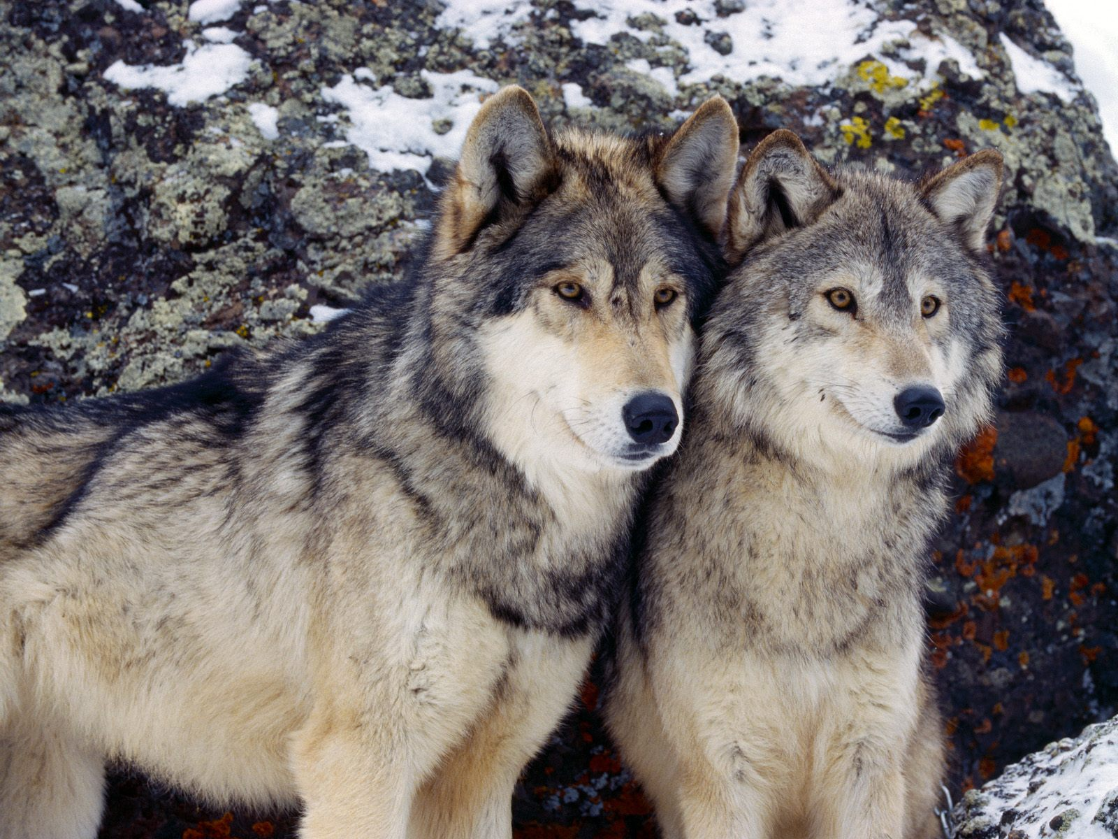 Must see Gray Wolf Wallpaper Beautiful - Wolves-image-wolves-36367697-1600-1200  You Should Have_20169.jpg