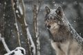 Wolf in snow - wolves photo