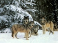 Wolf hunting group - wolves photo
