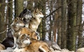 We are family! - wolves photo