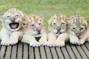 white Ligers (cross between Lion and Tiger)