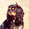 Cavalier King Charles người nịnh hót, spaniel
