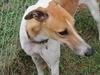 Kiwi a shelter dog