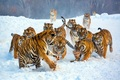 A group of harimau
