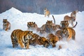 A group of Tigers - animals photo