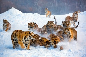 A group of mga tigre