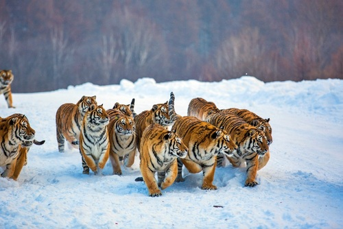 Animals wallpaper called A group of Tigers