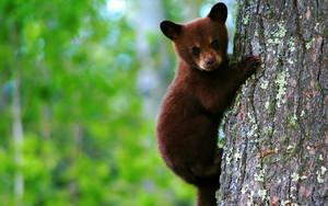 chịu, gấu
