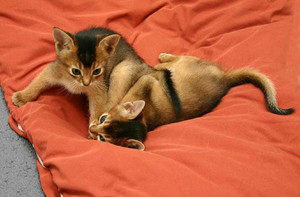 Abyssinian anak kucing