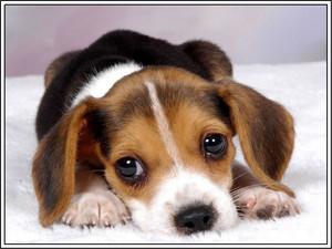 비글 강아지