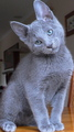 Russian Blue Cat - animals photo