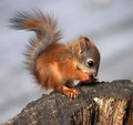 Red Baby Squirrel - animals photo