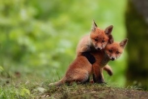 Baby foxes. <3333333
