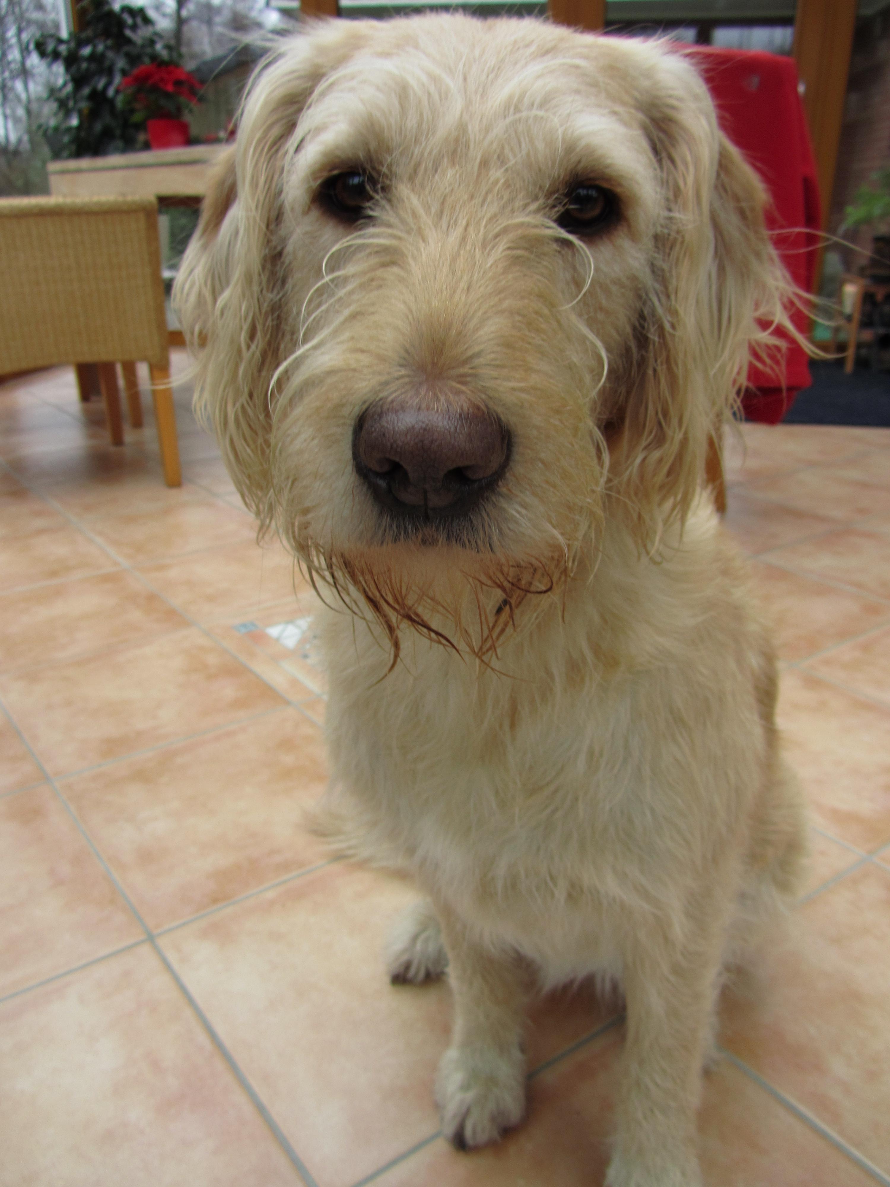 labradoodle labrador retriever and poodle mix - HD3000×4000