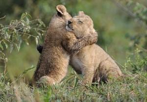 Cute lion hug