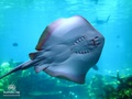 cute mantarraya, stingray