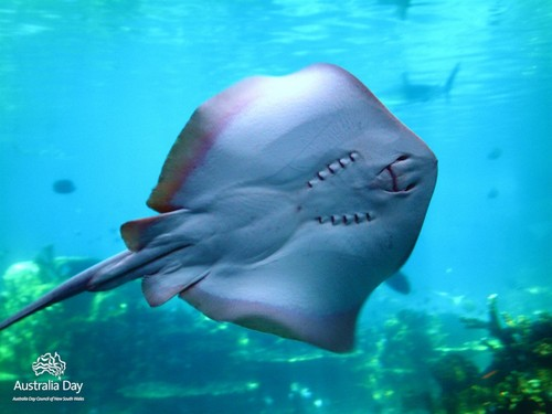 Photoshop wallpaper containing a stingray, a skate, and a ray entitled cute stingray