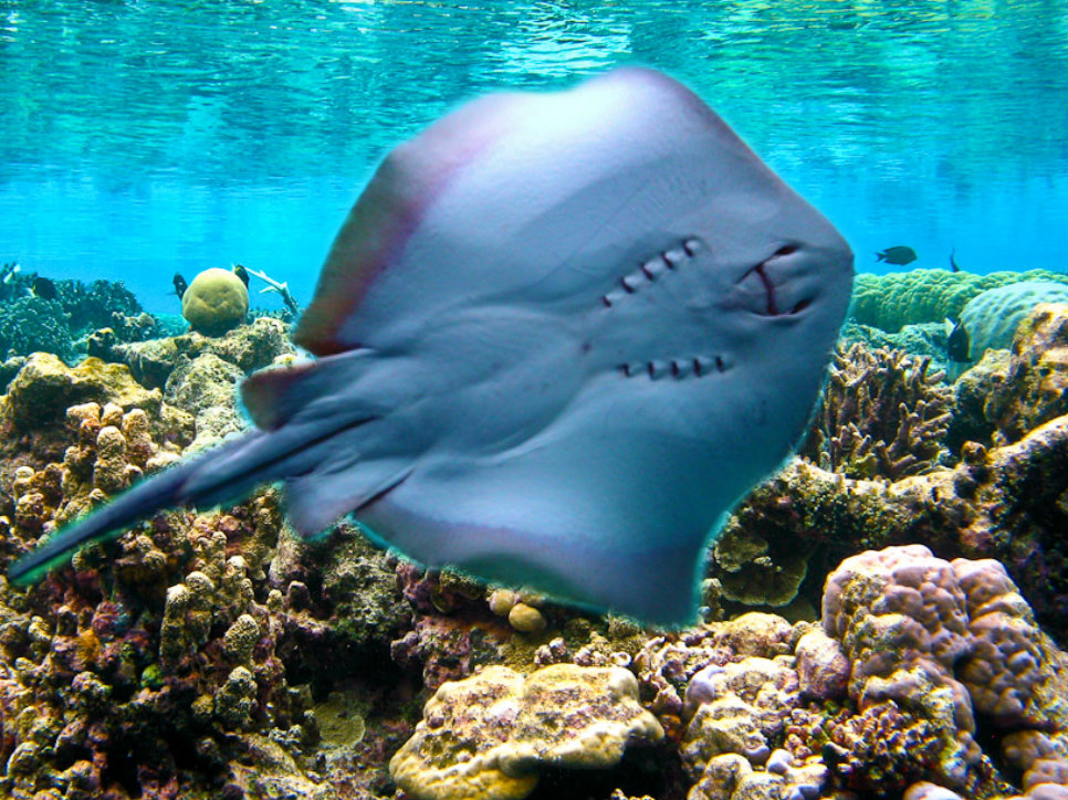 Photoshop Images Stingray Love Hd Wallpaper And Background Photos