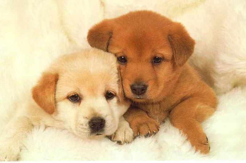 anjing, anak anjing Anjing