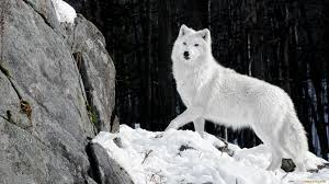 Snow wolfy