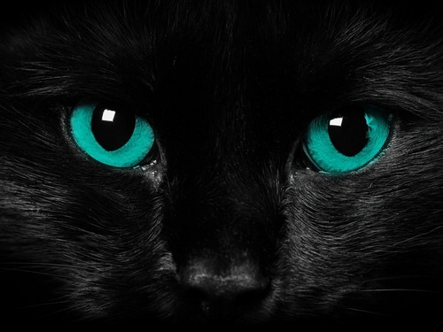 Animals achtergrond titled black-cat-blue-eyes-cat-wallpaper.