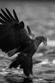 Eagle        - animals photo