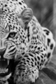 Leopard     - animals photo