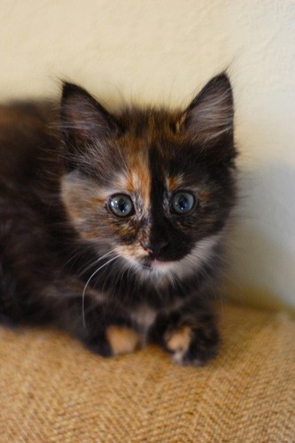 Cats images tortoiseshell cat wallpaper and background photos 36591621 - Images of tortoiseshell cats ...