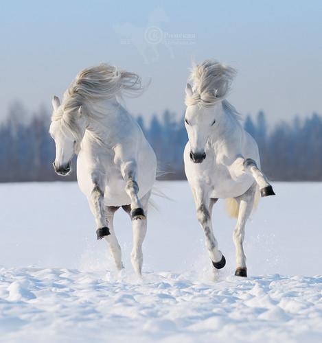 farasi karatasi la kupamba ukuta titled Dashing through the snow