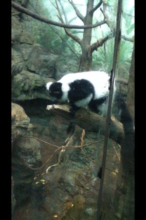 A Central Park Zoo lemur