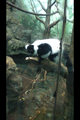 A Central Park Zoo lemur - penguins-of-madagascar photo