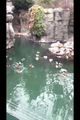 Ducks in the Zoo - penguins-of-madagascar photo