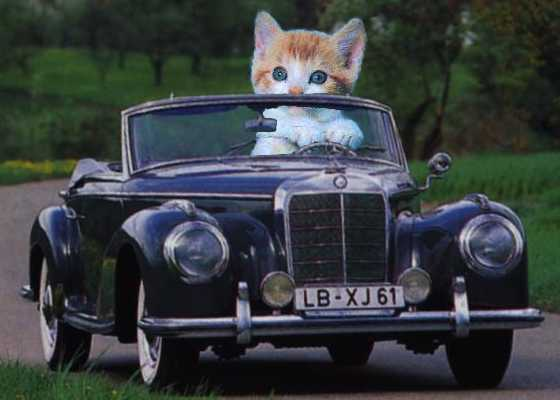 Cat Traveling On Car
