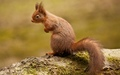 Squirrel            - animals wallpaper
