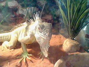 My brother's iguana, Hulk