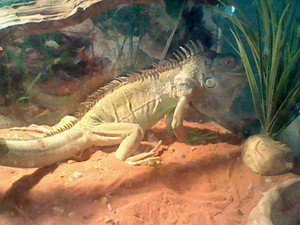 My brother's iguana, Hulk
